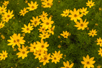 Close Up of Coreopsis Flowers in Gardens at S & P Oyster Company, Mystic, CT