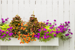 Colorful Flowers in Flower Box along White Fence at S & P Oyster Company, Mystic, CT