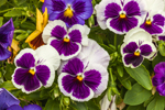 Close Up of Colorful Pansies at Mystic Gem Company, Mystic, CT