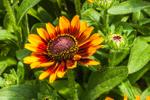 Close Up of Gloriosa Daisy (Black-eyed Susan Toto Rustic) at Stonington Gardens, Mystic, Stonington, CT