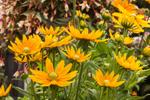 Close Up of Gloriosa Daisies Prairie Sun, Stonington Gardens, Mystic, Stonington, CT