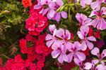 Colorful Potted Flowers at Stonington Gardens, Mystic, Stonington, CT