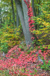 Virginia Creeper and Red Oak Tree in Early Autumn, Natick, MA