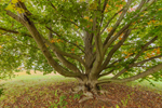 Close Up of European Beech Tree in Early Autumn, Natick, MA