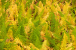 Close Up of Hayscented Ferns in Autumn at High Valley Farm, Taconic Mountains, Copake Falls, NY