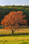 Backlit Solitary Red Maple Tree in Early Autumn at High Valley Farm, Taconic Mountains, Copake Falls, NY