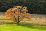 Solitary Sugar Maple Tree in Autumn at High Valley Farm, Taconic Mountains, Copake Falls, NY