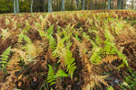 Hayscented Fern Glade in Autumn at High Valley Farm, Taconic Mountains, Copake Falls, NY
