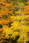 White Birch and Maple Trees in Autumn Colors at High Valley Farm, Taconic Mountains, Copake Falls, NY