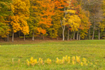Milkweeds in Field and Trees in Autumn Colors at Forest Edge, High Valley Farm, Taconic Mountains, Copake Falls, NY