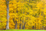 Sugar Maples at Field Edge in Autumn Colors at High Valley Farm, Taconic Mountains, Copake Falls, NY