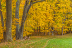 Sugar Maples in Autumn Colors along Path at Edge of Field at High Valley Farm, Taconic Mountains, Copake Falls, NY