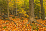 Inner Forest View with Fallen Leaves in Autumn at High Valley Farm, Taconic Mountains, Copake Falls, NY