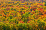 Colorful Fall Foliage on Mountainside in Green Mountain National Forest, Wilmington, VT