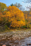 Colorful Foliage of Black Birch Tree along Banks of Deerfield River in Autumn, Green Mountain National Forest, Somerset, VT