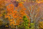 Forest of Fall Foliage, Mount Washingston State Forest, Berkshire Mountains, Mount Washington, MA