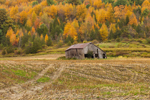 Old Dilapidated Barn in Cornfield with Mountainside of Fall Foliage in Background, Taconic Mountains Region, Petersburgh, NY