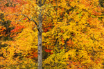 Red Maple Trees with Fall Foliage along Millers River, Orange, MA