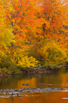 Colorful Fall Foliage in Woodlands along Millers River, Orange, MA