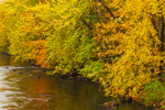 Fall Foliage in Forest along Ashuelot River, Winchester, NH