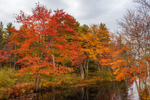 Red Maples in Fall Foliage along Tully River, Royalston, MA