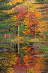 Trees with Fall Foliage Reflecting in King Brook, Kenneth Dubuque Memorial State Forest, Berkshire Mountains, Hawley, MA