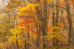 Colorful Fall Foliage in Forests along Skyline Drive, Shenandoah National Park, Page County, VA