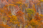 Hardwood Forest on Mountainside of Blue Ridge Mountains in Autumn, View from Skyline Drive, Shenandoah National Park, Rappahannock County, VA