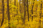 Colorful Fall Foliage in Forests along Skyline Drive, Shenandoah National Park, Warren County, VA