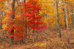 Red Maple Tree with Fall Foliage in Hardwood Forest along Skyline Drive, Shenandoah National Park, Page County, VA