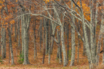 Oak Trees in Autumn along Skyline Drive, Shenandoah National Park, Rockingham County, VA