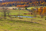 Grazing Cattle and Farmland in Autumn with North Mountain in Background, near White Hall, Frederick County, VA