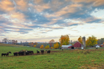 Cattle and Farm in Pennsylvania Dutch Country in Early Morning, near Strausstown, Berks County, PA