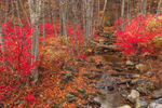 Burning Bush (Euonymous) in Fall Foliage along Brook in Delaware Water Gap National Recreation Area, near Egypt Mills, Pike County, PA