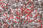 Snow-covered Winterberries (Black Alder Berries) after Snowfall, Royalston, MA