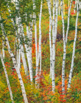 White Birch Tree Trunks and Autumn Foliage, The Shelburne Birches, White Mountains Region, Shelburne, NH