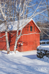 Red Barn and White Birch Trees after Snowstorm, Alstead, NH