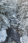 Dense Conifer Forest along Ashuelot River after Fresh Snowfall, Gilsum, NH