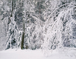 Woodlands after Heavy Snowfall, Royalston, MA