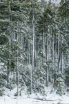 Conifer Forest after Snowstorm, White Mountain National Forest, Carroll, NH
