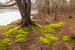 Mosses around Maple Tree with Old Ice Pond in Background at Sheriff's Meadow Sanctuary, Martha's Vineyard, Edgartown, MA