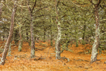 Pitch Pine Forest on Wasque Reservation, Chappaquiddick Island, Martha's Vineyard, Edgartown, MA