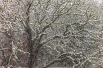 Big Oak Tree in Snowstorm, Manuel F Correllus State Forest, Martha's Vineyard, Edgartown, MA