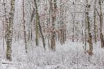 Oak Forest during Snowstorm at Felix Neck Wildlife Sanctuary, Martha's Vineyard, Edgartown, MA
