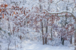 Snow-covered Oak Forest after Snowstorm, Martha's Vineyard, West Tisbury, MA