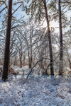 Backlit Forest after Snowstorm, Martha's Vineyard, West Tisbury, MA