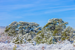 Snow-covered Conifers after Snowstorm, Martha's Vineyard, West Tisbury, MA