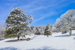 Snow-covered Trees in Open Farm Fields after Snowstorm, Martha's Vineyard, Chilmark, MA