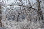 Oak Forest after Snowstorm, Middle Road Sanctuary, Sheriff's Meadow Foundation, Martha's Vineyard, Chilmark, MA