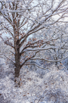 Backlit Oak Forest after Snowstorm, Middle Road Sanctuary, Sheriff's Meadow Foundation, Martha's Vineyard, Chilmark, MA